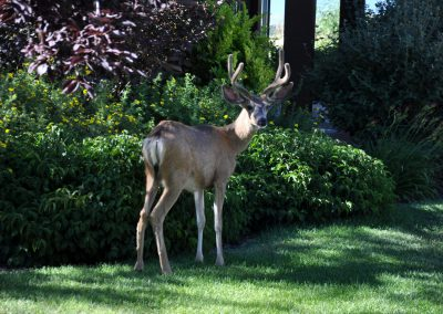 Buck in front yard