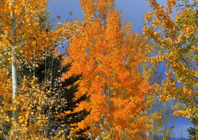 Fall colors on aspen at Trappers Ridge