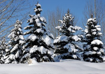 Snow covered trees at Trappers Ridge
