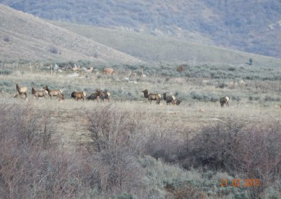 Elk herd above Trappers Ridge
