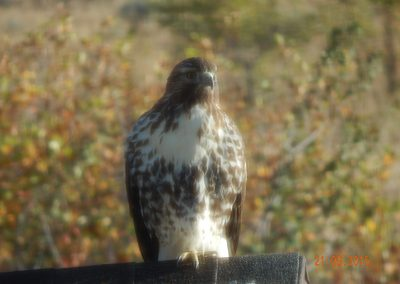 Hawk at Trappers Ridge